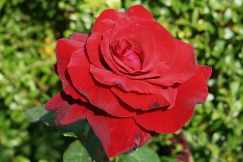 Edelrose 'Duftzauber 84' ® - Rosa 'Duftzauber 84' ®