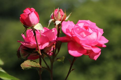 Edelrose 'Eliza' ® - Rosa 'Eliza' ® ADR-Rose
