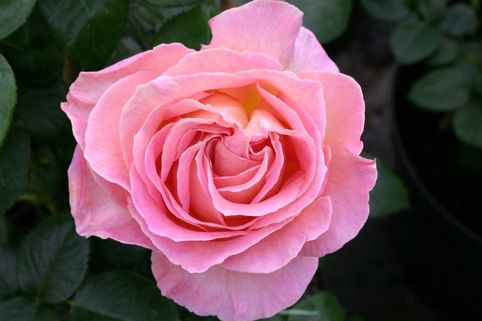 Edelrose 'Elle' ® - Rosa 'Elle' ®