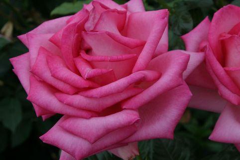 Edelrose 'Esmeralda' ® - Rosa 'Esmeralda' ®