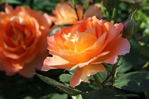 Edelrose 'Fairest Cape' ® - Rosa 'Fairest Cape' ®