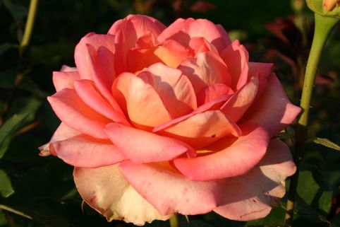 Edelrose 'Fantasia Mondiale' ® - Rosa 'Fantasia Mondiale' ®