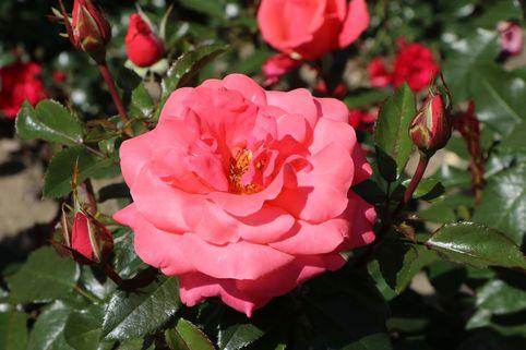 Edelrose 'Focus' ® - Rosa 'Focus' ®