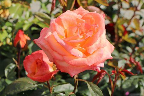 Edelrose 'Frohsinn' 82 ® - Rosa 'Frohsinn' 82 ®