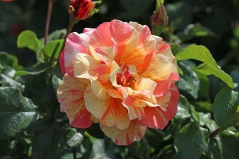 Edelrose 'Fruite' ® - Rosa 'Fruite' ®