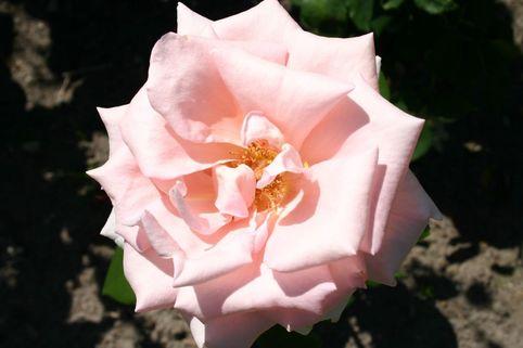 Edelrose 'Glendora' ® - Rosa 'Glendora' ®
