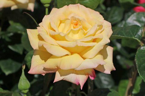 Edelrose 'Gloria Dei' / 'Peace' - Rosa 'Gloria Dei' / 'Peace'