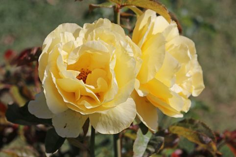 Edelrose 'Golden Medaillon' ® - Rosa 'Golden Medaillon' ®