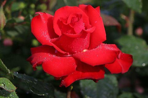 Edelrose 'Grande Amore' ® - Rosa 'Grande Amore' ®