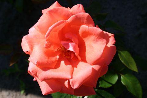 Edelrose 'Harmonie' ® - Rosa 'Harmonie' ®