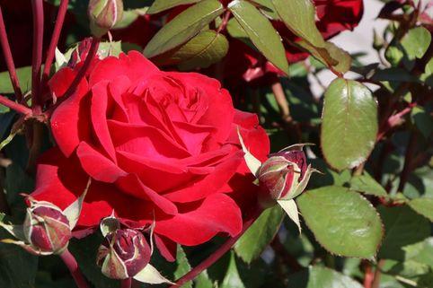 Edelrose 'Helmut Kohl Rose' - Rosa 'Helmut Kohl Rose'