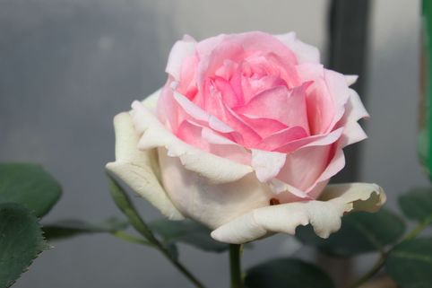 Edelrose 'History' ® - Rosa 'History' ®
