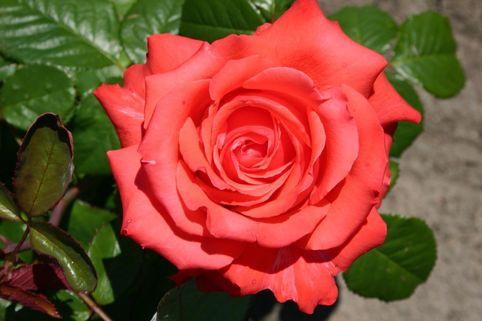 Edelrose 'Holsteinperle' ® - Rosa 'Holsteinperle'
