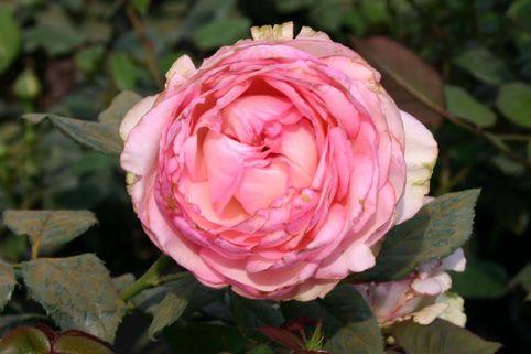 Edelrose 'Honore de Balzac' ® - Rosa 'Honore de Balzac' ®