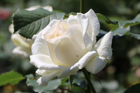 Edelrose 'Irina' ® - Rosa 'Irina' ®