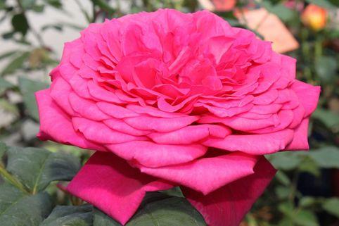Edelrose 'Johann Wolfgang von Goethe Rose' ® - Rosa 'Johann Wolfgang von Goethe Rose' ®