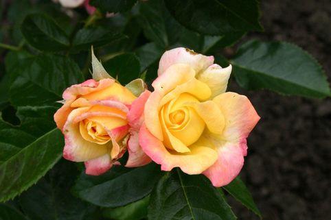 Edelrose 'Kessy' ® - Rosa 'Kessy' ®
