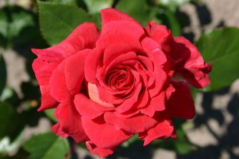 Edelrose 'Kleopatra' ® - Rosa 'Kleopatra' ®