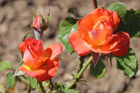 Edelrose 'Königin der Rosen' ® - Rosa 'Königin der Rosen' ®
