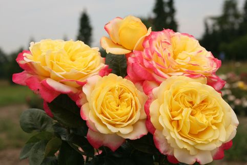 Edelrose 'Kordes Jubilee' - Rosa 'Kordes Jubilee'