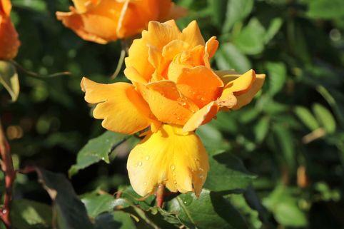 Edelrose 'Kupferkönigin' ® - Rosa 'Kupferkönigin' ®
