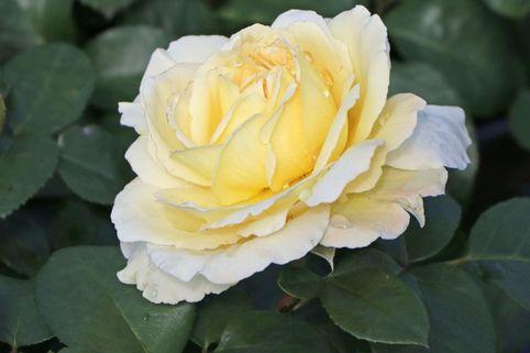 Edelrose 'La Perla' ® - Rosa 'La Perla' ® ADR-Rose