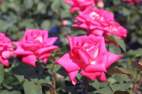 Edelrose 'Lady Like' ® - Rosa 'Lady Like' ®