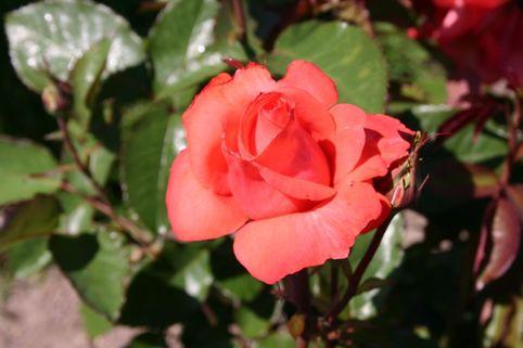 Edelrose 'Lady Rose' ® - Rosa 'Lady Rose' ®