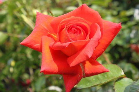 Edelrose 'Las Vegas' ® - Rosa 'Las Vegas' ®