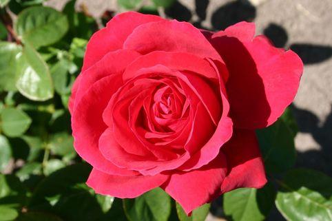 Edelrose 'Liebeszauber' ® - Rosa 'Liebeszauber' ®
