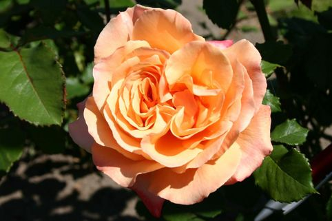 Edelrose 'Lolita' ® - Rosa 'Lolita' ®