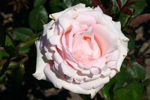 Edelrose 'Märchenkönigin' ® - Rosa 'Märchenkönigin' ®