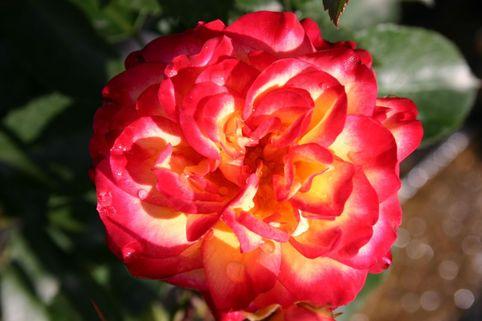 Edelrose 'Mambo No. 5 '® - Rosa 'Mambo No. 5'