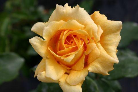 Edelrose 'Marco Polo' ® - Rosa 'Marco Polo' ®