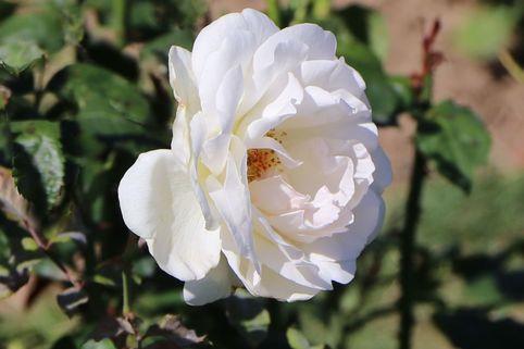 Edelrose 'Marie-Luise Marjan' ® - Rosa 'Marie-Luise Marjan' ®