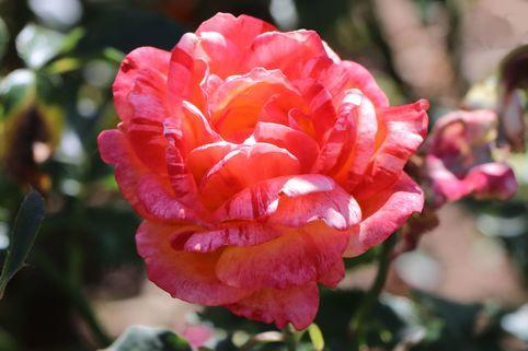 Edelrose 'Marvelle' ® - Rosa 'Marvelle' ®