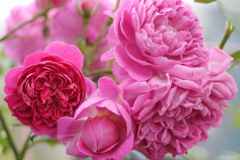 Edelrose 'Melina' ® - Rosa 'Melina'