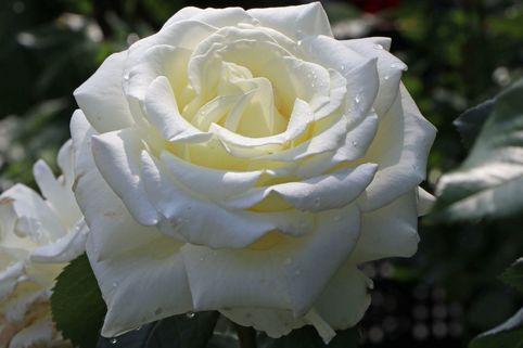 Edelrose 'Memoire' ® - Rosa 'Memoire' ®
