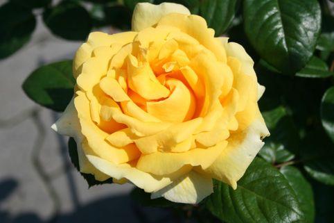 Edelrose 'Michelangelo' ® - Rosa 'Michelangelo' ®