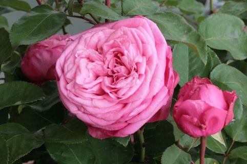 Edelrose 'Mon Petit Chou' ® - Rosa 'Mon Petit Chou' ®
