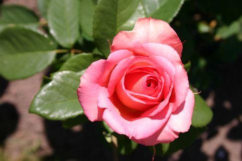 Edelrose 'Mondiale' ® - Rosa 'Mondiale' ®