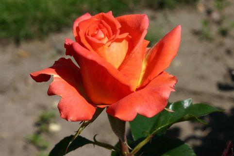 Edelrose 'Monica' ® - Rosa 'Monica' ®