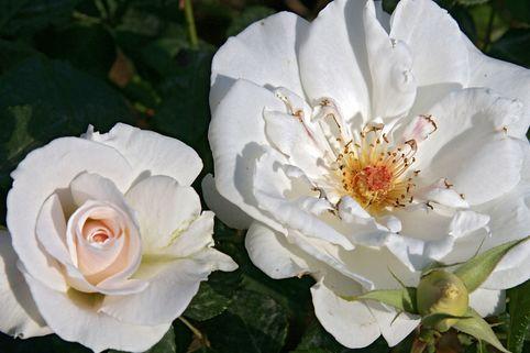 Edelrose Nirparfum Rose 'Elvis' ® - Rosa 'Elvis' ®