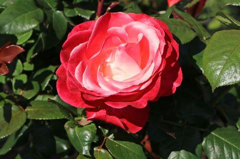 Edelrose 'Nostalgie' ® - Rosa 'Nostalgie' ®