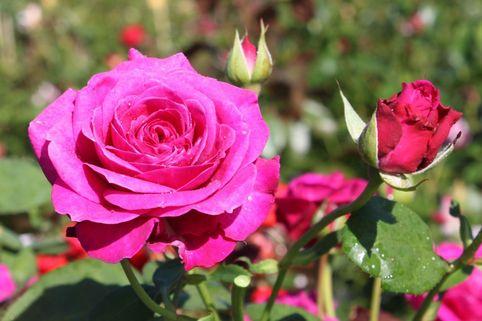 Edelrose 'Old Port' ® - Rosa 'Old Port' ®