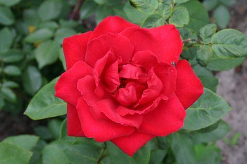 Edelrose 'Paola' ® - Rosa 'Paola'