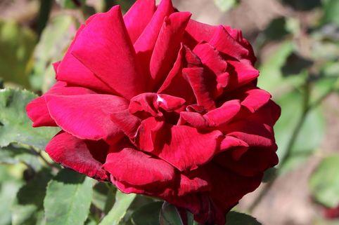 Edelrose 'Papa Meilland' ® - Rosa 'Papa Meilland' ®