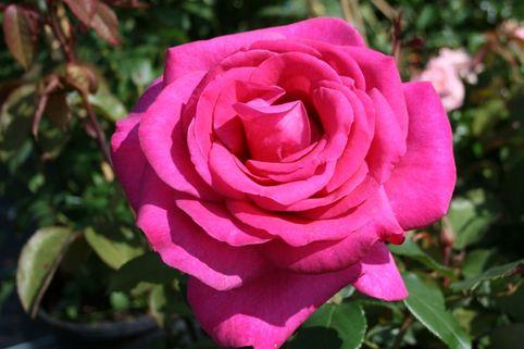Edelrose 'Parole' ® - Rosa 'Parole' ®