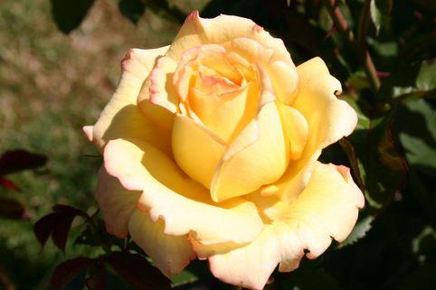 Edelrose 'Peer Gynt' ® - Rosa 'Peer Gynt' ®