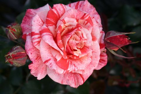 Edelrose 'Philatelie' ® - Rosa 'Philatelie' ®